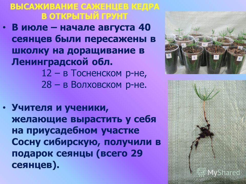 В июле – начале августа 40 сеянцев были пересажены в школку на доращивание в Ленинградской обл. 12 – в Тосненском р-не, 28 – в Волховском р-не. Учителя и ученики, желающие вырастить у себя на приусадебном участке Сосну сибирскую, получили в подарок с