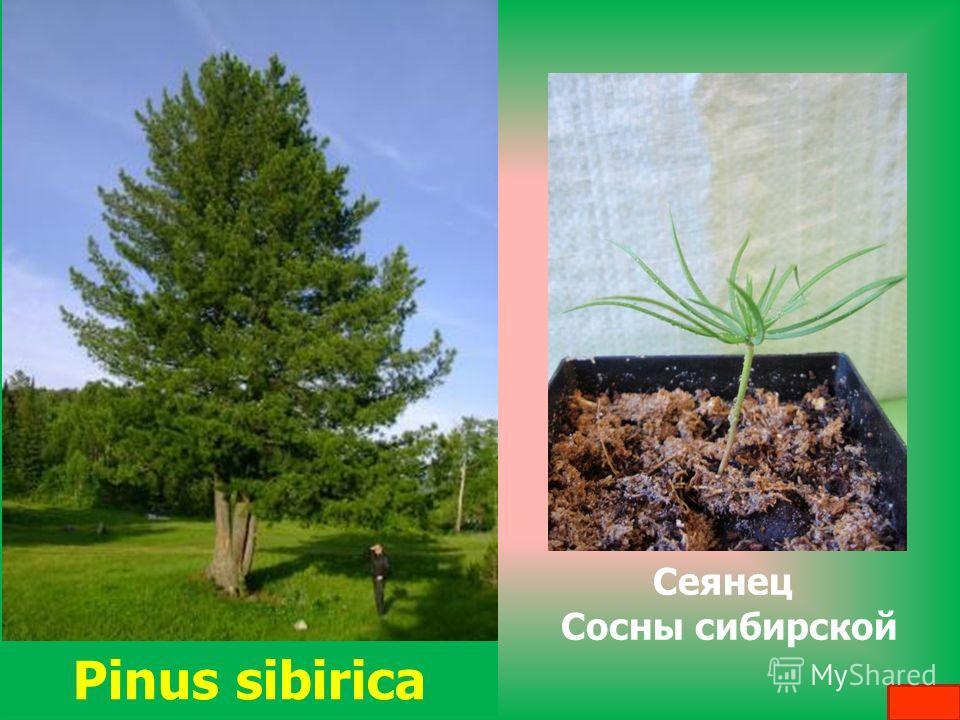 Pinus sibirica Сеянец Сосны сибирской