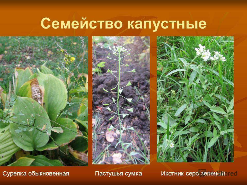 Семейство капустные Сурепка обыкновеннаяПастушья сумкаИкотник серо-зеленый