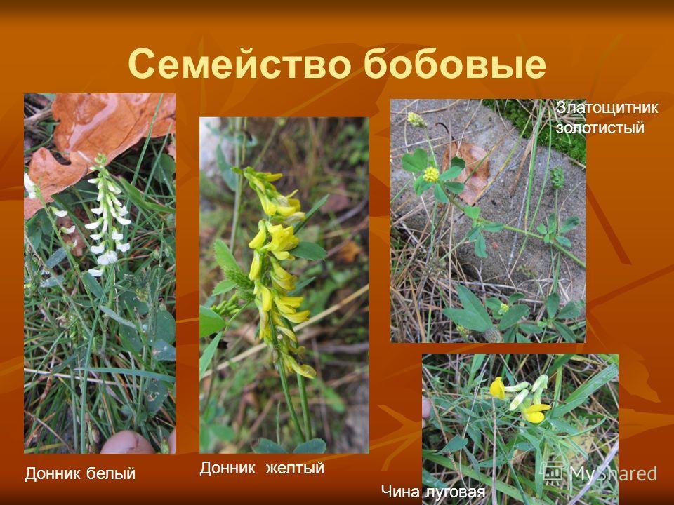 Семейство бобовые Донник белый Донник желтый Златощитник золотистый Чина луговая