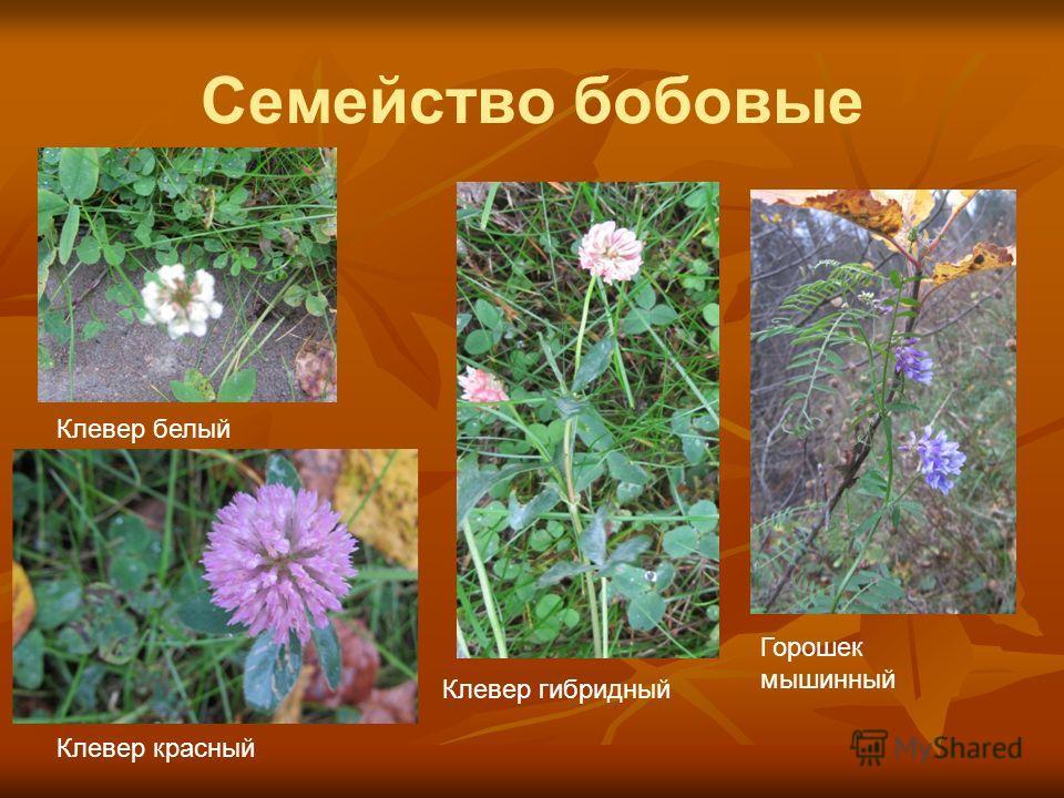 Семейство бобовые Клевер красный Клевер белый Клевер гибридный Горошек мышинный