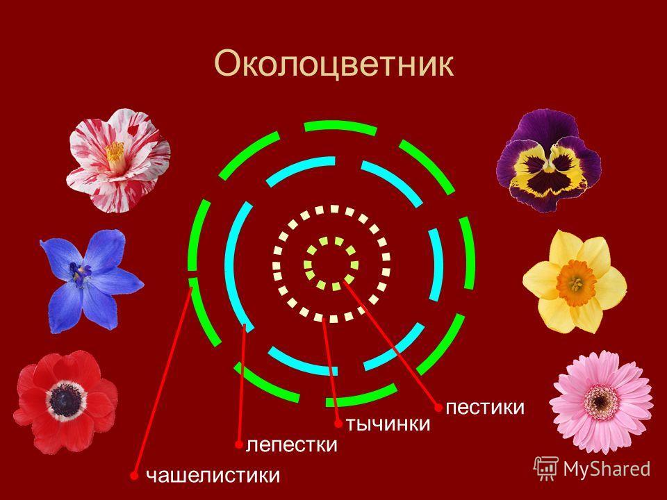 Околоцветник чашелистики лепестки тычинки пестики