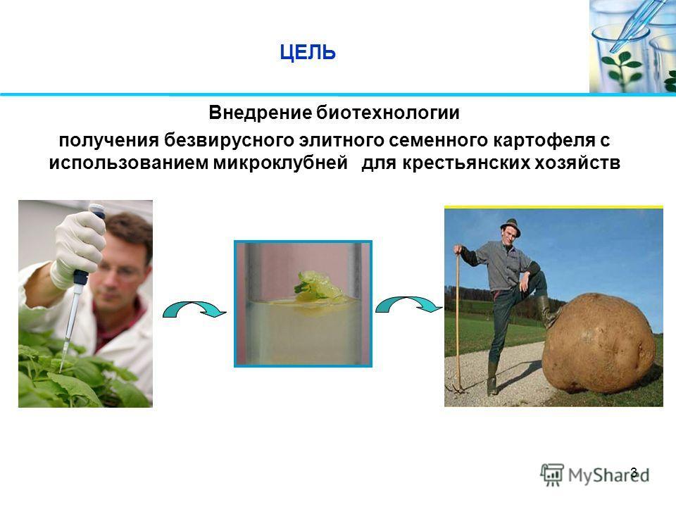 3 ЦЕЛЬ Внедрение биотехнологии получения безвирусного элитного семенного картофеля с использованием микроклубней для крестьянских хозяйств