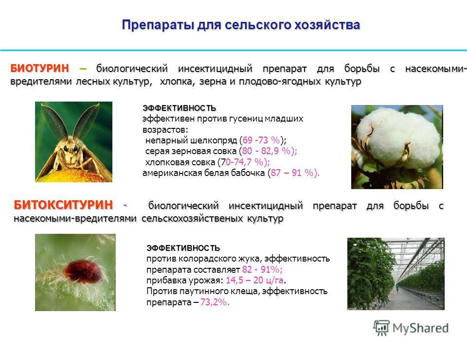 БИОТУРИН – биологический инсектицидный препарат для борьбы с насекомыми- вредителями лесных культур, хлопка, зерна и плодово-ягодных культур ЭФФЕКТИВНОСТЬ эффективен против гусениц младших возрастов: непарный шелкопряд (69 -73 %); серая зерновая совк