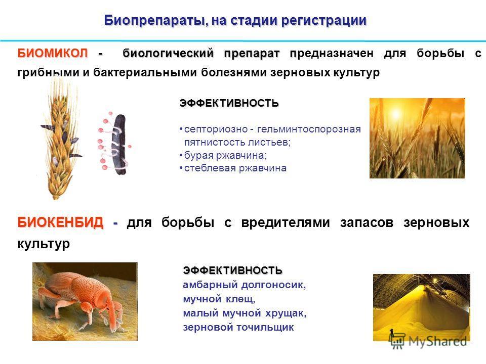 БИОМИКОЛ - биологический препарат п БИОМИКОЛ - биологический препарат предназначен для борьбы с грибными и бактериальными болезнями зерновых культур ЭФФЕКТИВНОСТЬ септориозно - гельминтоспорозная пятнистость листьев; бурая ржавчина; стеблевая ржавчин