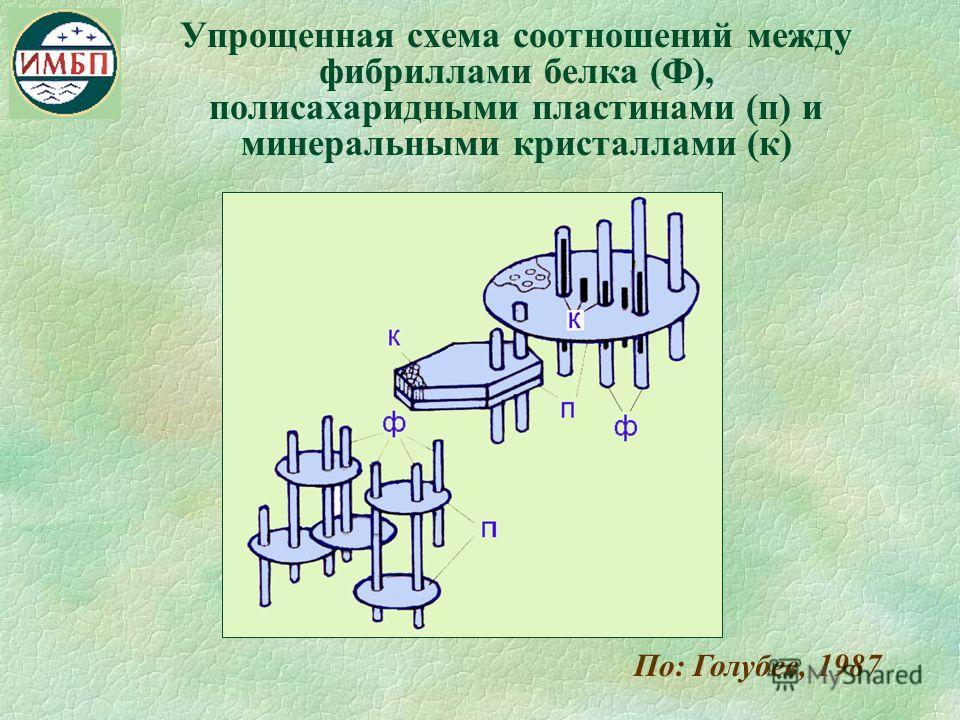 Упрощенная схема соотношений между фибриллами белка (Ф), полисахаридными пластинами (п) и минеральными кристаллами (к) По: Голубев, 1987