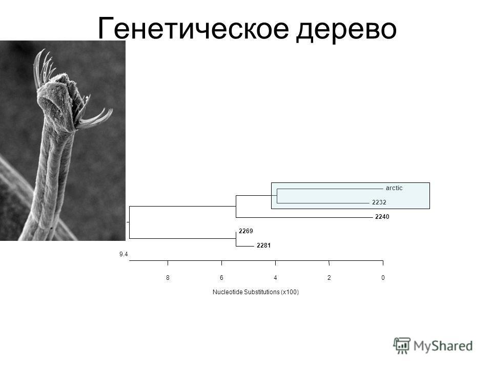 Nucleotide Substitutions (x100) 0 9.4 2468 arctic 2232 2240 2269 2281 Генетическое дерево
