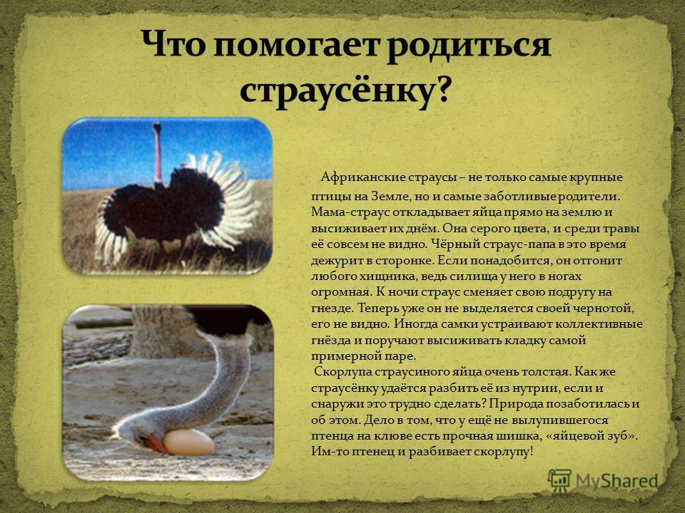 Африканские страусы – не только самые крупные птицы на Земле, но и самые заботливые родители. Мама-страус откладывает яйца прямо на землю и высиживает их днём. Она серого цвета, и среди травы её совсем не видно. Чёрный страус-папа в это время дежурит