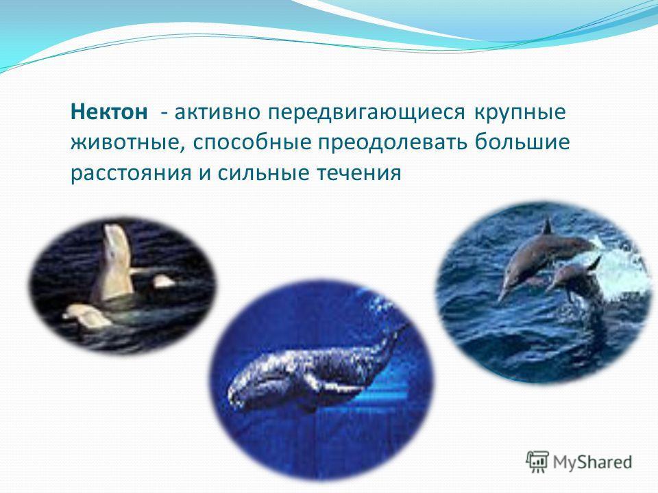 Нектон - активно передвигающиеся крупные животные, способные преодолевать большие расстояния и сильные течения