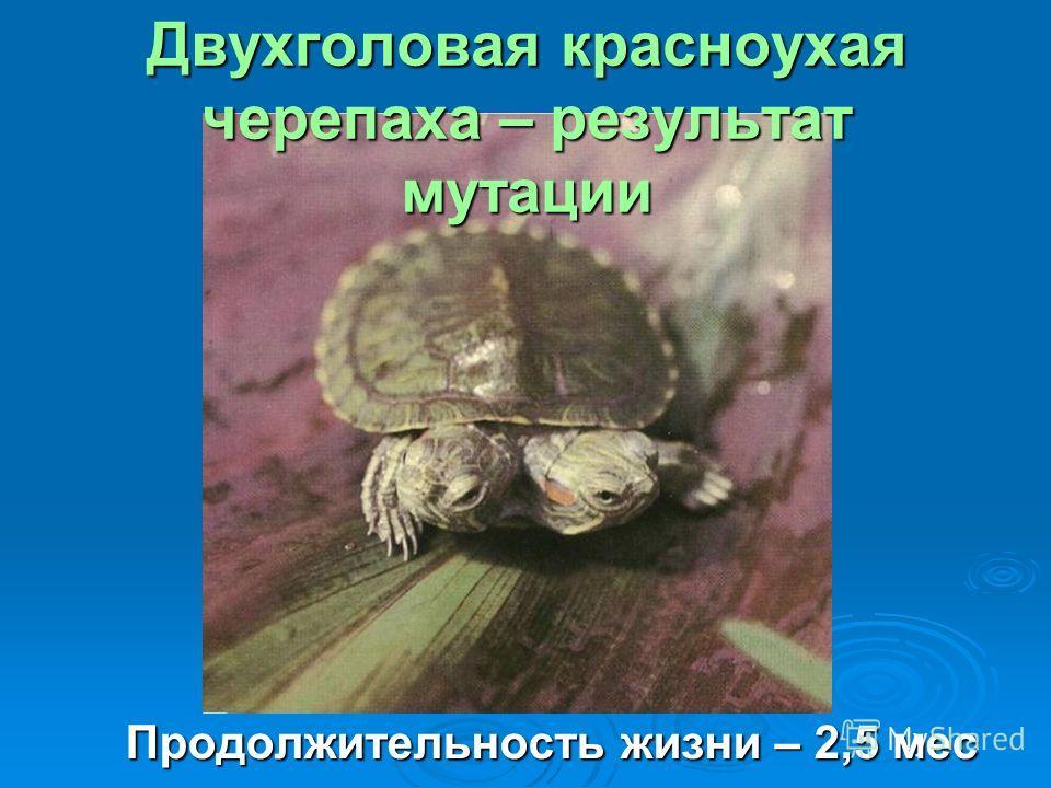 Двухголовая красноухая черепаха – результат мутации Продолжительность жизни – 2,5 мес