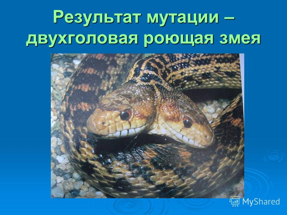 Результат мутации – двухголовая роющая змея