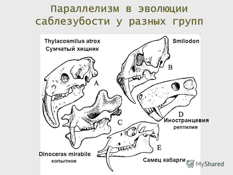 Thylacosmilus atrox Сумчатый хищник Smilodon Dinoceras mirabile копытное Иностранцевия рептилия Самец кабарги Параллелизм в эволюции саблезубости у разных групп