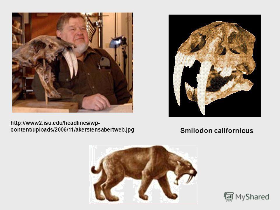 Smilodon californicus http://www2.isu.edu/headlines/wp- content/uploads/2006/11/akerstensabertweb.jpg
