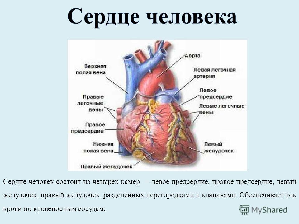 Желудочек
