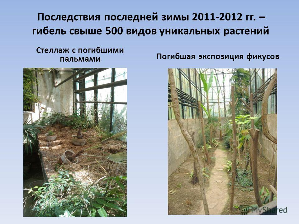 Последствия последней зимы 2011-2012 гг. – гибель свыше 500 видов уникальных растений Стеллаж с погибшими пальмами Погибшая экспозиция фикусов