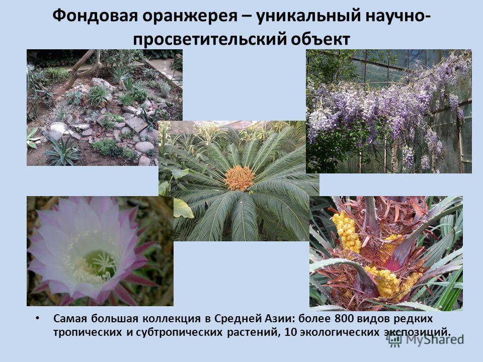 Фондовая оранжерея – уникальный научно- просветительский объект Самая большая коллекция в Средней Азии: более 800 видов редких тропических и субтропических растений, 10 экологических экспозиций.