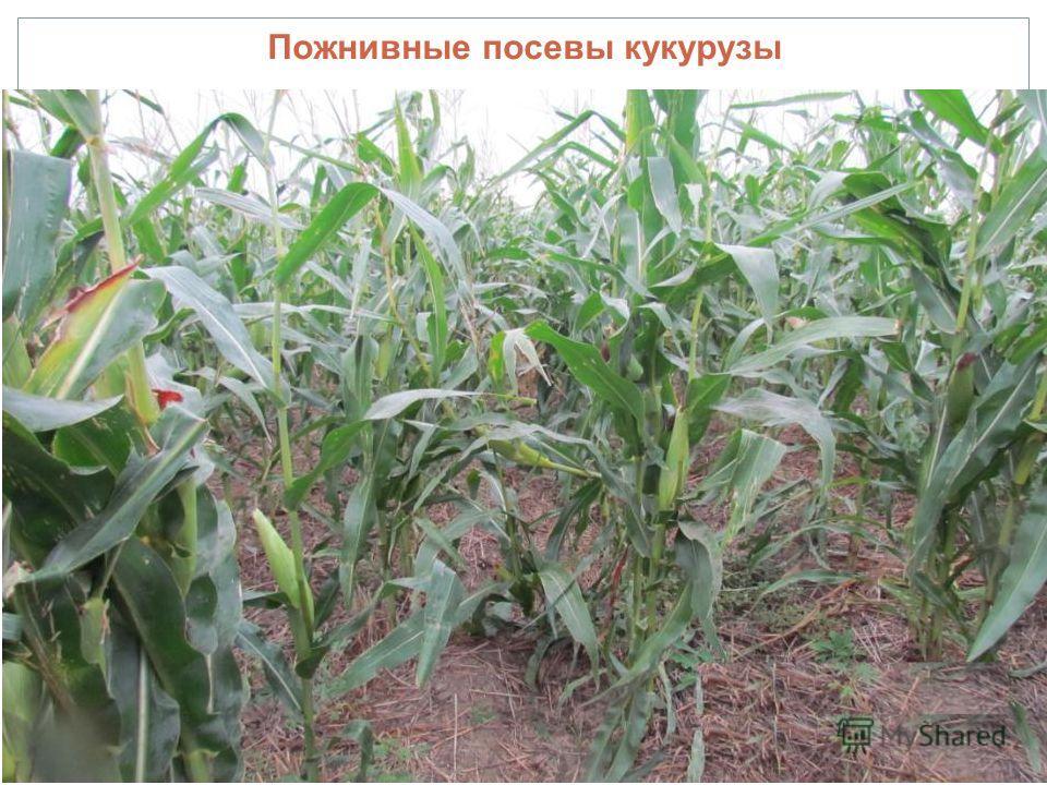 Пожнивные посевы кукурузы
