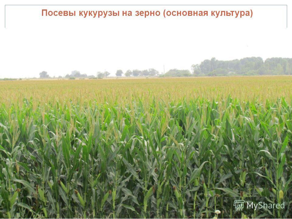 Посевы кукурузы на зерно (основная культура)