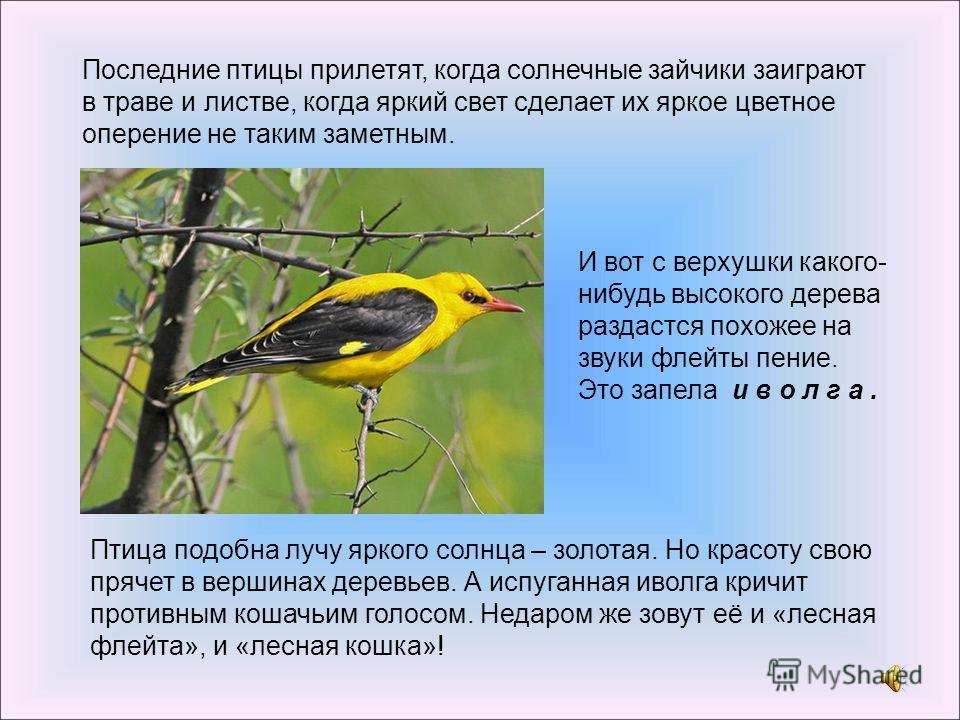 Последние птицы прилетят, когда солнечные зайчики заиграют в траве и листве, когда яркий свет сделает их яркое цветное оперение не таким заметным. И вот с верхушки какого- нибудь высокого дерева раздастся похожее на звуки флейты пение. Это запела и в