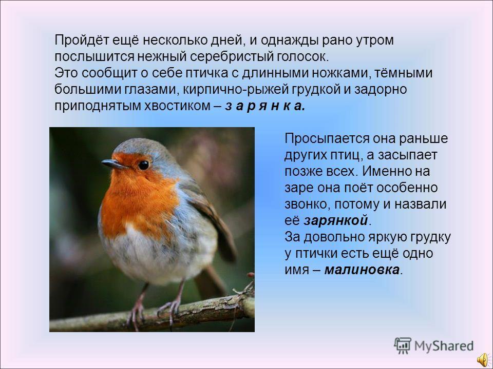 Это сообщит о себе птичка с длинными ножками, тёмными большими глазами, кирпично-рыжей грудкой и задорно приподнятым хвостиком – з а р я н к а. Просыпается она раньше других птиц, а засыпает позже всех. Именно на заре она поёт особенно звонко, потому