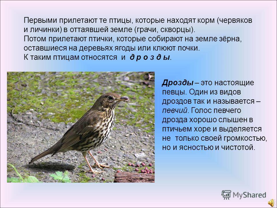 Дрозды – это настоящие певцы. Один из видов дроздов так и называется – певчий. Голос певчего дрозда хорошо слышен в птичьем хоре и выделяется не только своей громкостью, но и ясностью и чистотой. Первыми прилетают те птицы, которые находят корм (черв