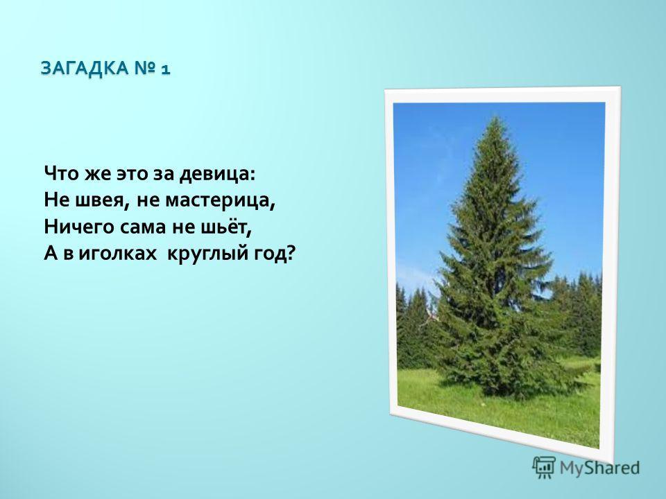 ЗАГАДКА 1 Что же это за девица : Не швея, не мастерица, Ничего сама не шьёт, А в иголках круглый год ?