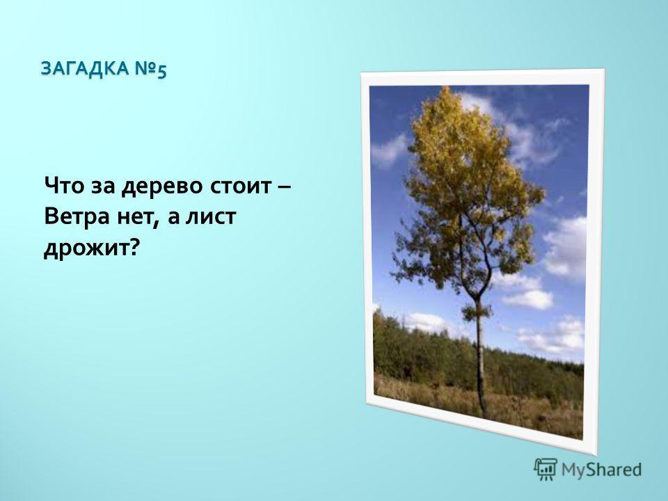 ЗАГАДКА 5 Что за дерево стоит – Ветра нет, а лист дрожит ?
