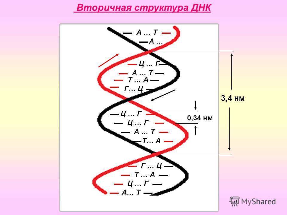 А … Т А … Ц … Г А … Т Т … А Г… Ц Ц … Г А … Т Т… А Г … Ц Т … А Ц … Г А… Т Вторичная структура ДНК 3,4 нм 0,34 нм