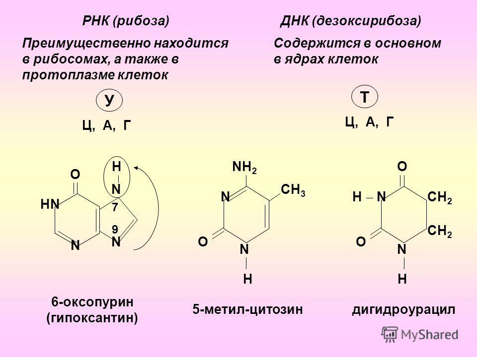 NН2NН2 РНК (рибоза)ДНК (дезоксирибоза) Преимущественно находится в рибосомах, а также в протоплазме клеток Ц, А, Г Содержится в основном в ядрах клеток Ц, А, Г У Т 9 7 НNНN N N N О H 6-оксопурин (гипоксантин) N О N H СH 3 О Н N О N H СH 2 5-метил-цит
