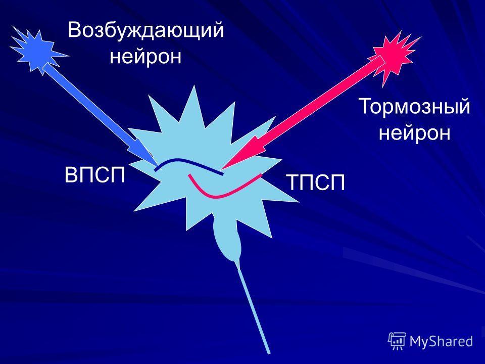 ВПСП ТПСП Возбуждающий нейрон Тормозный нейрон