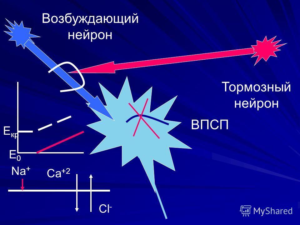ВПСП Возбуждающий нейрон Тормозный нейрон Cl - Cа +2 Е0Е0 Е кр Nа+Nа+