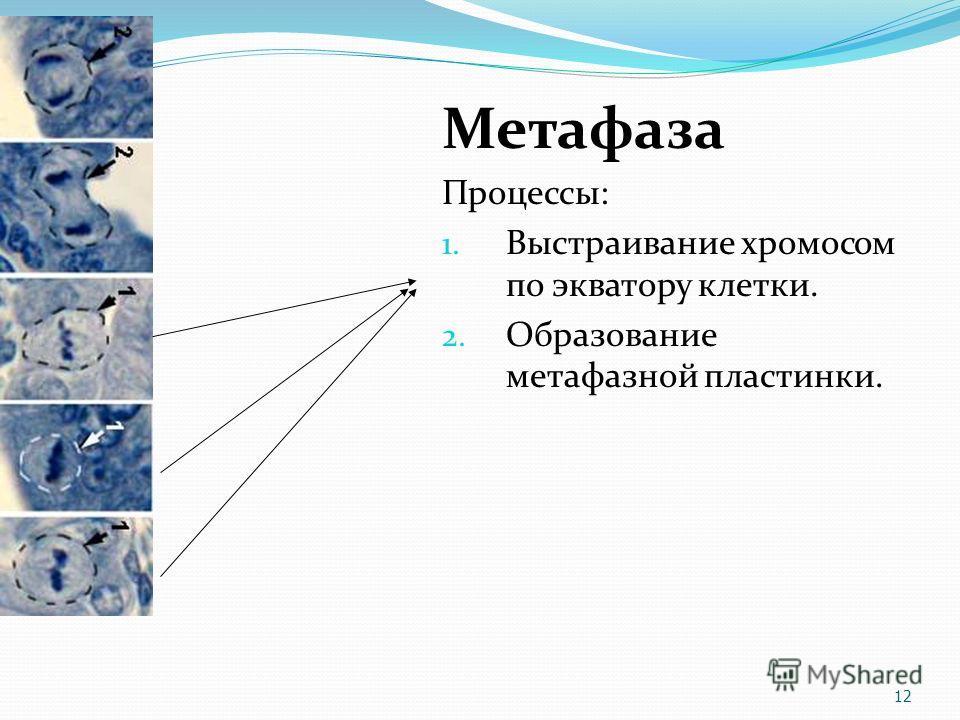 Метафаза Процессы: 1. Выстраивание хромосом по экватору клетки. 2. Образование метафазной пластинки. 12