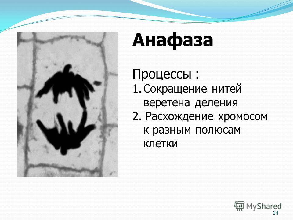 Анафаза Процессы : 1.Сокращение нитей веретена деления 2. Расхождение хромосом к разным полюсам клетки 14