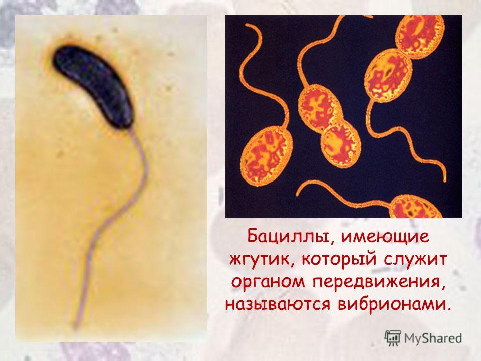 Бациллы, имеющие жгутик, который служит органом передвижения, называются вибрионами.