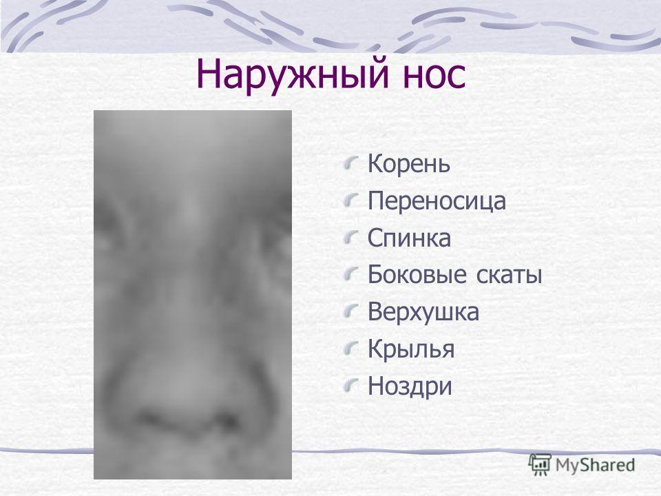 Наружный нос Корень Переносица Спинка Боковые скаты Верхушка Крылья Ноздри