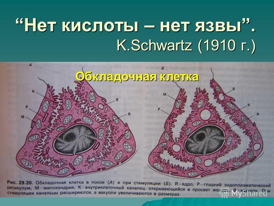 Нет кислоты – нет язвы. K.Schwartz (1910 г.)Нет кислоты – нет язвы. K.Schwartz (1910 г.) Обкладочная клетка