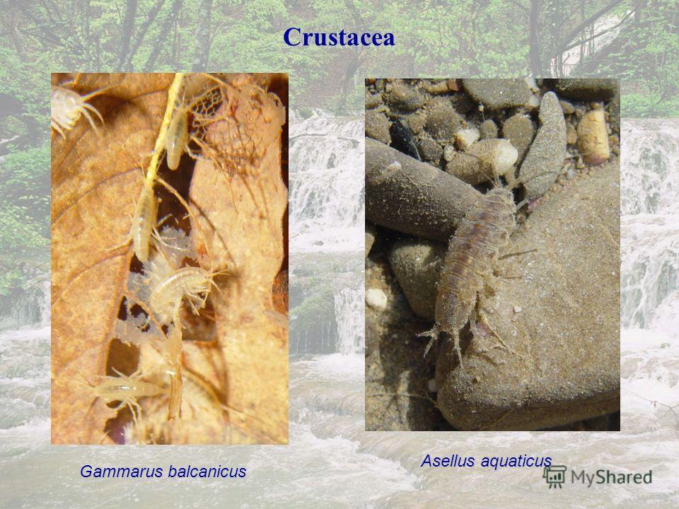 Crustacea Gammarus balcanicus Asellus aquaticus