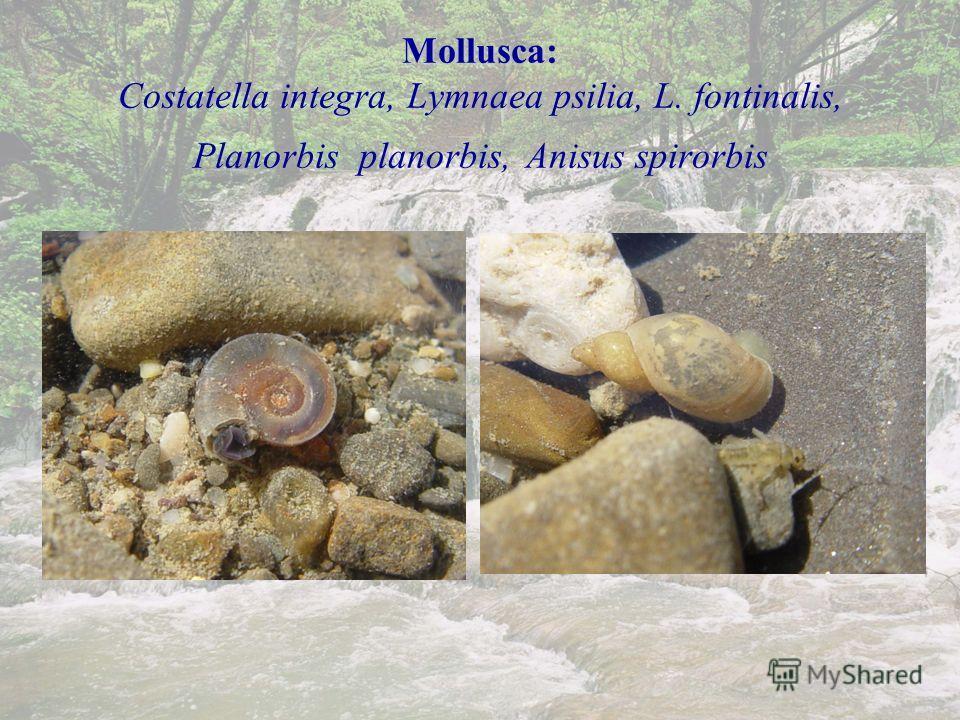 Mollusca: Mollusca: Costatella integra, Lymnaea psilia, L. fontinalis, Planorbis planorbis, Anisus spirorbis