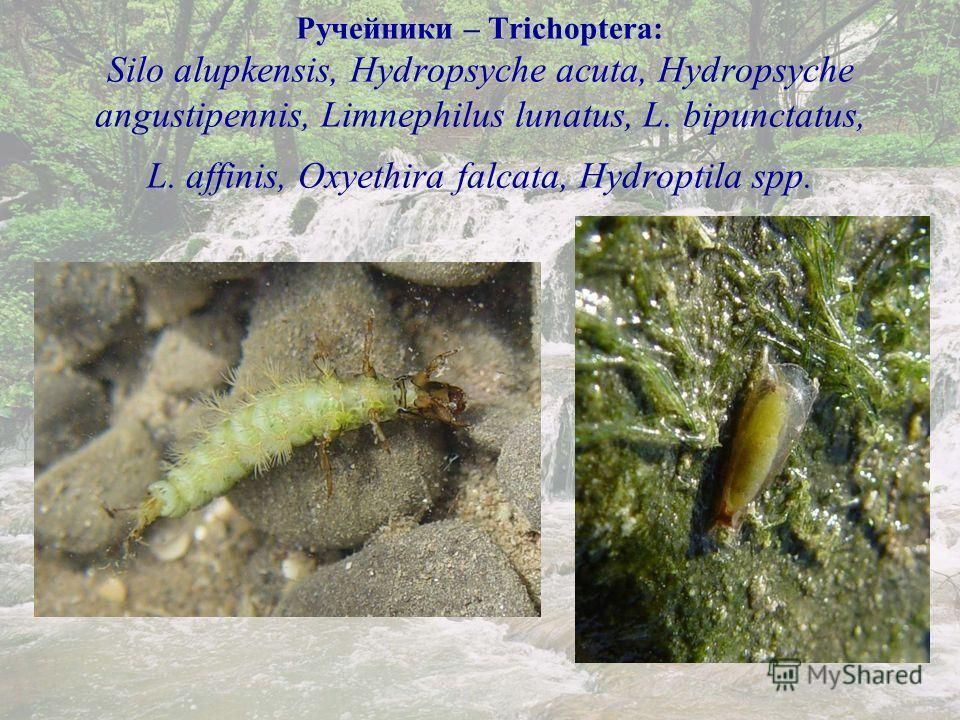 Ручейники – Trichoptera: Silo alupkensis, Hydropsyche acuta, Ручейники – Trichoptera: Silo alupkensis, Hydropsyche acuta, Hydropsyche angustipennis, Limnephilus lunatus, L. bipunctatus, L. affinis, Oxyethira falcata, Hydroptila spp.
