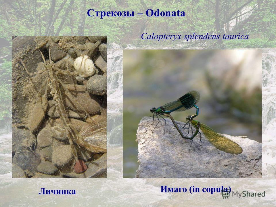 Стрекозы – Odonata Calopteryx splendens taurica Личинка Имаго (in copula Имаго (in copula)