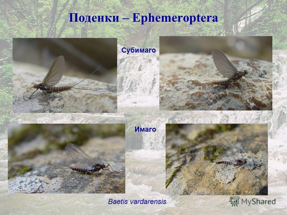 Поденки – Ephemeroptera Baetis vardarensis Субимаго Имаго