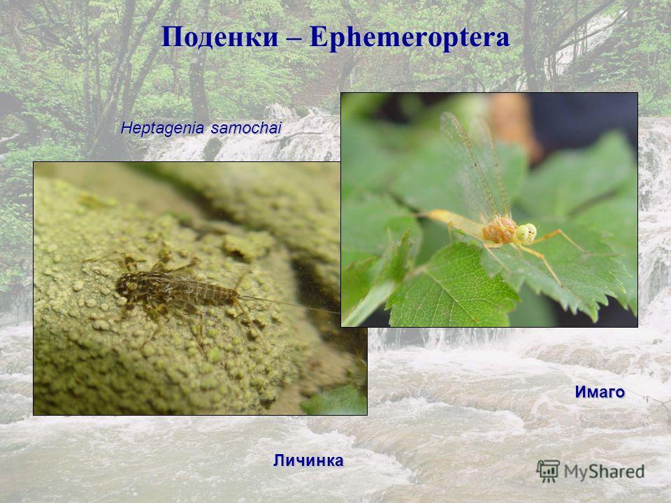 Поденки – Ephemeroptera Heptagenia samochai Личинка Имаго