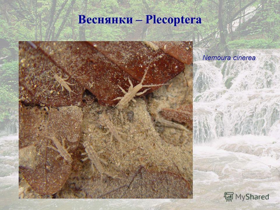 Веснянки – Plecoptera Nemoura cinerea