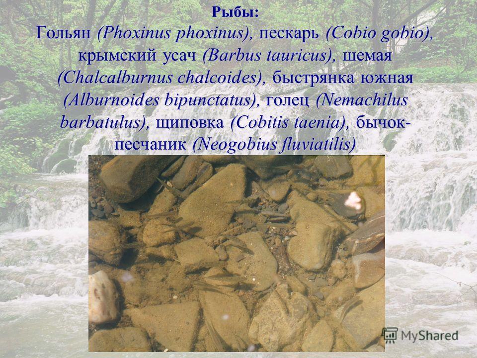 Рыбы: Гольян (Phoxinus phoxinus), пескарь (Cobio gobio), крымский усач (Barbus tauricus), шемая (Chalcalburnus chalcoides), быстрянка южная (Alburnoides bipunctatus), голец (Nemachilus barbatulus), щиповка (Cobitis taenia), бычок- песчаник (Neogobius