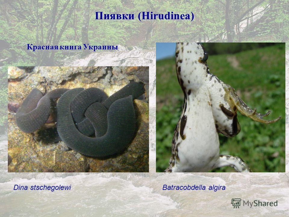 Пиявки (Hirudinea) Красная книга Украины Batracobdella algira Dina stschegolewi