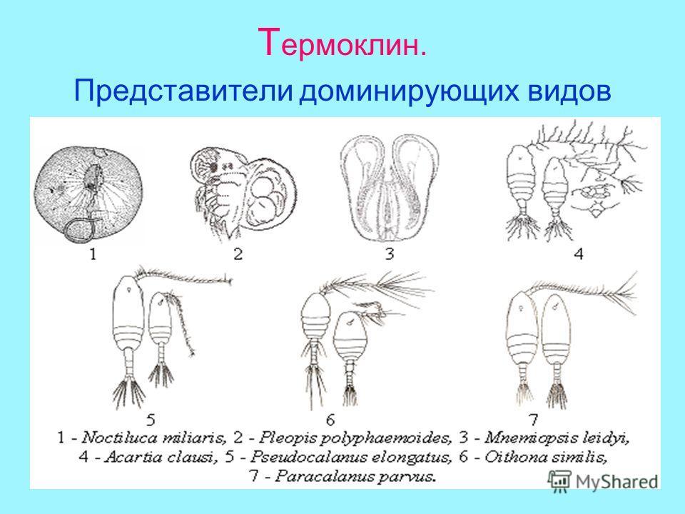 Т ермоклин. Представители доминирующих видов