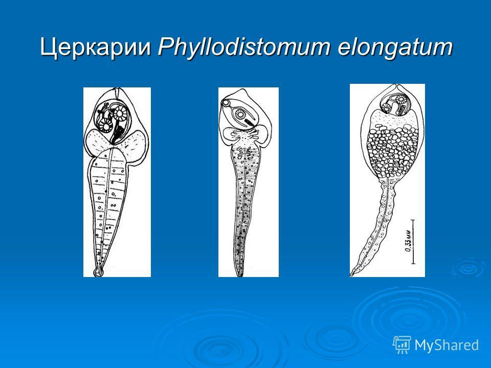 Церкарии Phyllodistomum elongatum