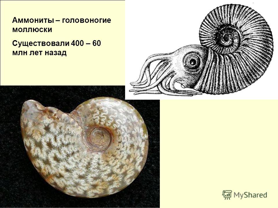 Аммониты – головоногие моллюски Существовали 400 – 60 млн лет назад