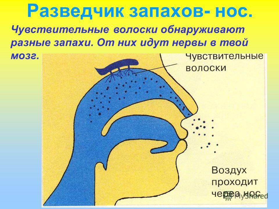 Разведчик запахов- нос. Чувствительные волоски обнаруживают разные запахи. От них идут нервы в твой мозг.