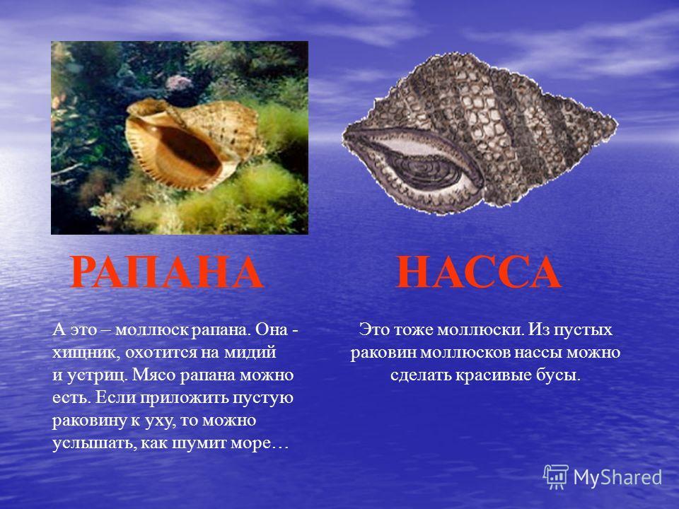 А это – моллюск рапана. Она - хищник, охотится на мидий и устриц. Мясо рапана можно есть. Если приложить пустую раковину к уху, то можно услышать, как шумит море… РАПАНАНАССА Это тоже моллюски. Из пустых раковин моллюсков нассы можно сделать красивые